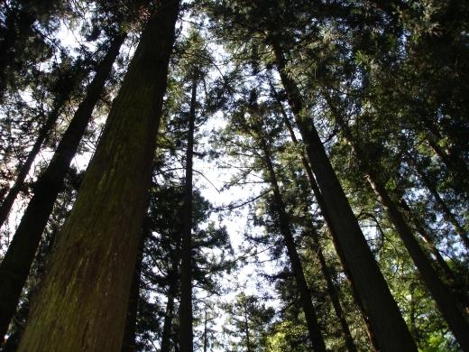 杉の木の写真素材01