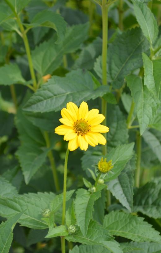 黄色い花の写真素材01