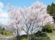 桜の写真素材01