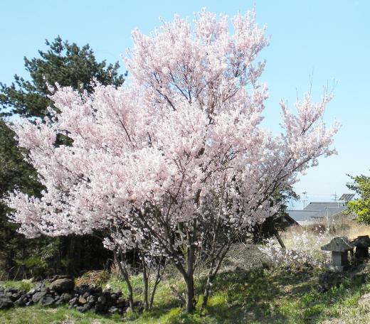 桜の写真素材02