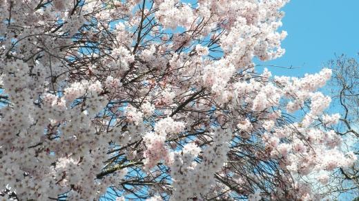 桜の写真素材03