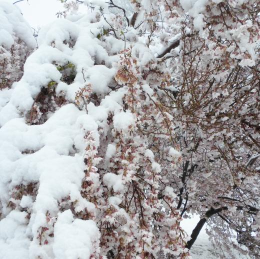雪が積もった桜の写真素材02