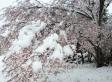 雪が積もった桜の写真素材03