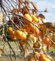 柿の木の写真素材02