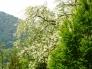 アカシアの花の写真素材01