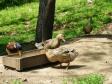 鴨の写真素材02