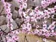 桃の花の写真素材01