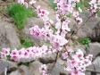 桃の花の写真素材02