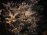 夜桜の写真素材02