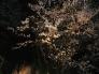 夜桜の写真素材03