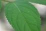 杜仲(トチュウ)の葉の写真素材01