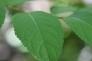 杜仲(トチュウ)の葉の写真素材02