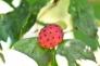 ヤマボウシの実の写真素材01