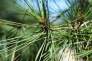 松の枝の写真素材01