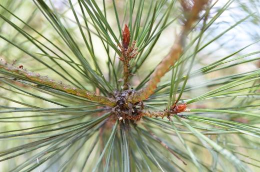 松の枝の写真素材02