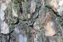 松の樹皮の写真素材02