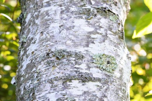 白樺の樹皮の写真素材01