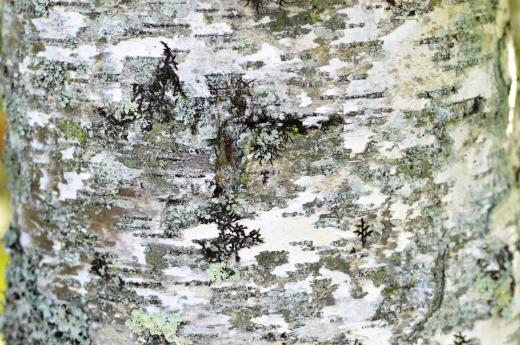 白樺の樹皮の写真素材02