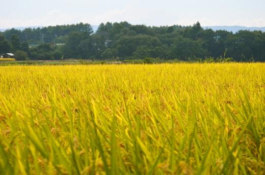 稲・お米の写真素材01