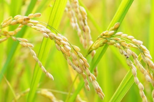 稲・お米の写真素材04