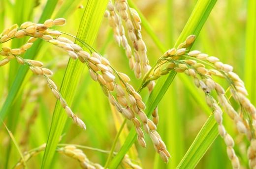 稲・お米の写真素材05