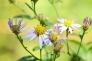 シロヨメナの写真素材02