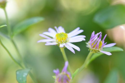 シロヨメナの写真素材03