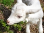 仔ヤギの写真素材01