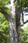 欅の写真素材02