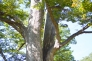欅の写真素材03