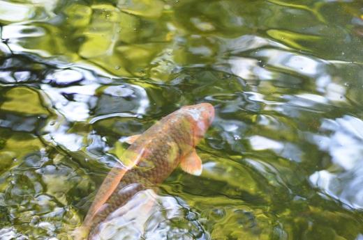 水の波紋と鯉の写真素材01