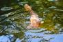 水の波紋と鯉の写真素材02