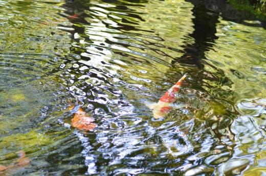 水の波紋と鯉の写真素材03