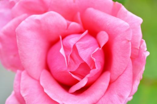 バラの写真素材01