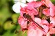 花に止まっているトンボの写真素材01