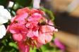 花に止まっているトンボの写真素材02
