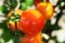 ミニトマトの写真素材01