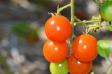 ミニトマトの写真素材02