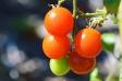 ミニトマトの写真素材03
