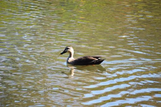 鴨の写真素材03