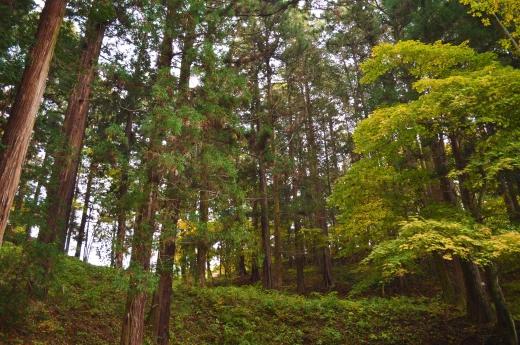 杉の木の写真素材04