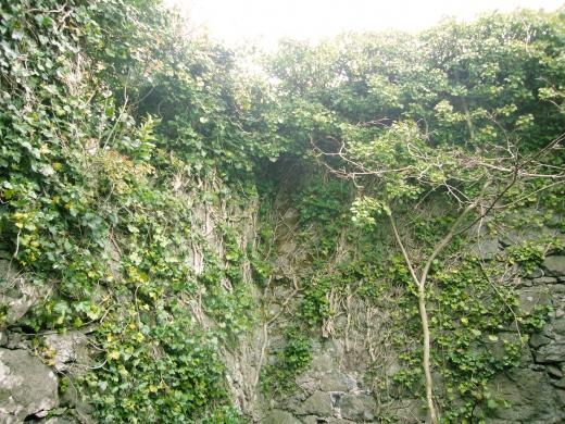 イギリスの石垣とツタの写真素材01