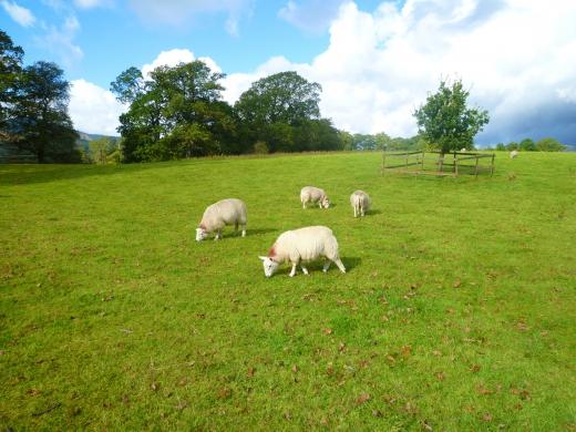 羊の写真素材