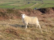 ウェールズの羊の写真素材