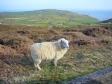 ウェールズの羊の写真素材02