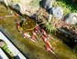 泳ぐ鯉の写真素材
