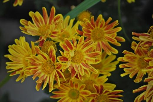 オレンジ色の小菊の写真素材