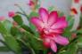 カニシャボの花の写真素材