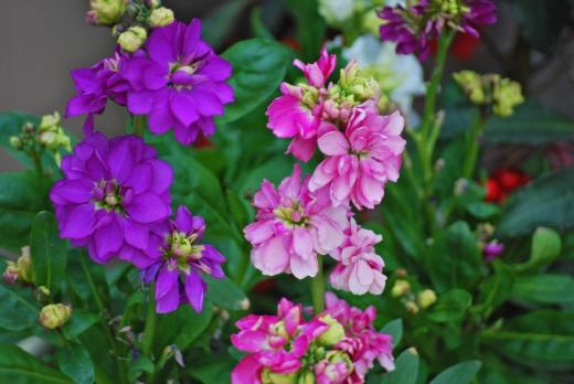 ピンクと紫のストックの写真素材