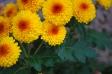 ポンポン咲きの小菊の写真素材